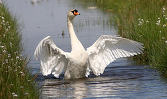Swan Lake Ballet (Ger Bosma) Tags: zwaan swan schwan cygne cisne muteswan cygnusolor knobbelzwaan höckerschwan cygnetuberculé cisnevulgar 2mg290787filtered