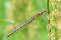 Emerald Damselfly Lestes sponsa Upton Norfolk (JohnMannPhoto) Tags: norfolk damselfly emerald upton lestes sponsa