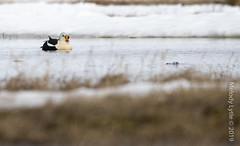 King Eider (karenmelody) Tags: alaska anatidae animal animals anseriformes bird birds duck ducks kingeider somateriaspectabilis usa vertebrate vertebrates nearbarrow location salcha unitedstatesofamerica