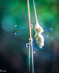 libelle stengel 3-1 (surinamevakantiehuisje) Tags: juffers libelle macro