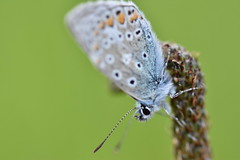 Common Blue (PLawston) Tags: uk britain england surrey box hill north downs macro flower common blue butterfly insect