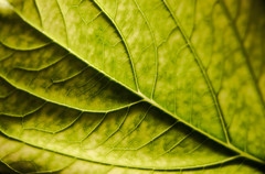 Macro mondays - Patterns in nature (Jose Rahona) Tags: macromondays patternsinnature hmm macro mondays patterns texturas textures hoja leaf verde green jardin garden