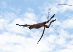 Leap of faith (3 of 5) (tickspics ) Tags: centralamerica osapeninsula newworldmonkeys geoffroysspidermonkey southernpacificlowlands bosquedelcabo costarica atelesgeoffroyi atelidae blackhandedspidermonkey golfodulce iucnredlistendangered mammalia platyrrhini primates pacificcoast southpuntarenas tropicallowlandrainforest sspornatus