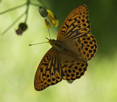 Patterns In Nature (Helena Johansson 71) Tags: patternsinnature macro macromondays butterfly insect nature fjäril nikond7500 d7500 nikon