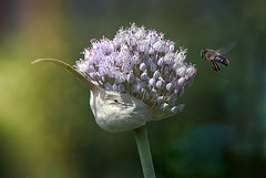 the late afternoon sunlight, warm as oil, sweet as childhood . (genevieve van doren) Tags: chives allium ciboulette bee abeille light lumière gold