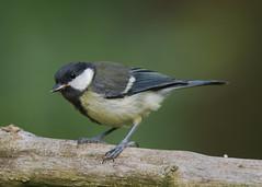 Great Tit Parus major ) (Dale Ayres) Tags: great tit parus major bird nature wildlife