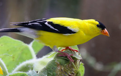 American Goldfinch (wvsawwhet) Tags: westvirginia wv westvirginiabirds goldfinch bird birding birds birdwatching birdsofwestvirginia marioncounty fairmont nature wildlife