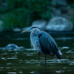 Gon' fishing (michaelsabol4) Tags: mysterious adventure outdoors fish fishing deep beautiful instagram wildlife wow d300s nikon river bird heron blue nature