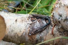Zootoca vivipara (Petteri Vainio) Tags: sisilisko lizard nature animal finland