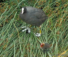 coot and chick (patrickcolhoun) Tags: coot nature willdife animal inchwildfowlreserve donegal ireland countydonegal ulster bird