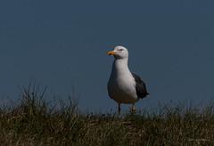 Schauen wer morgen zu Besuch kommt (wernerlohmanns) Tags: wildlife natur outdoor vögel wasservögel möwe mantelmöwe deutschland schleswigholstein schärfentiefe sigma150600c helgoland helgöländerdüne d750 nikond750