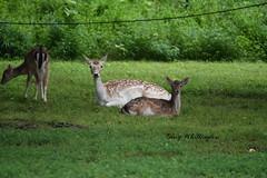Fallow Deer_2159e (Porch Dog) Tags: 2019 garywhittington nikond750 nikkor200500mm summer july wildlife naturelbl landbetweenthelakes betweentherivers kentucky
