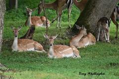 Fallow Deer_2154e (Porch Dog) Tags: 2019 garywhittington nikond750 nikkor200500mm summer july wildlife naturelbl landbetweenthelakes betweentherivers kentucky