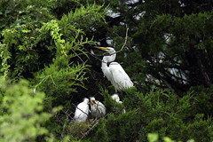 Quick, she's not paying attention - NOW we can get outta here (martytdx) Tags: oceancity nj birding birds oceancitywelcomecenter rookery wadingbird waders egret greategret ardeaalba ardea ardeidae nesting immature adult