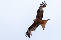 Soaring Kite (oandrews) Tags: animal animals bird birds canon canon70d canonuk fauna milvusmilvus nature northamptonshire northants outdoors raptor redkite stanwicklakes wildlife