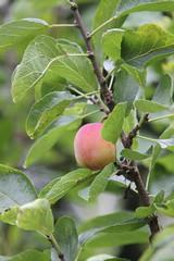 Coming Soon (jchants) Tags: 119in2019 110unripe plumtree plum italianplum italianplumtree leaves fruit
