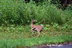 Deer-Whitetail-Fawn_2173e (Porch Dog) Tags: 2019 garywhittington nikond750 nikkor200500mm summer july wildlife naturelbl landbetweenthelakes betweentherivers kentucky