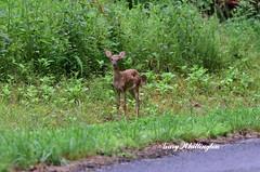 Deer-Whitetail-Fawn_2172ce (Porch Dog) Tags: 2019 garywhittington nikond750 nikkor200500mm summer july wildlife naturelbl landbetweenthelakes betweentherivers kentucky