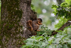 Fox Squirrel_2164ce (Porch Dog) Tags: 2019 garywhittington nikond750 nikkor200500mm summer july wildlife naturelbl landbetweenthelakes betweentherivers kentucky
