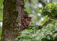 Fox Squirrel_2163ce (Porch Dog) Tags: 2019 garywhittington nikond750 nikkor200500mm summer july wildlife naturelbl landbetweenthelakes betweentherivers kentucky