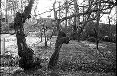 Trees (Berggren81) Tags: leica m4 leicam4voigtländernoktorclassic35mm1 ishootfilm analouge