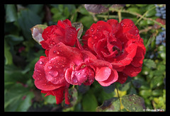 Roses in the morning (OthmarMarti) Tags: iphone8 rose red rot wassertropfen waterdrops