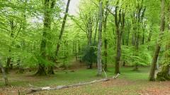 New Forest NP, Hampshire, UK (east med wanderer) Tags: england uk hampshire newforestnationalpark forest woodland oak beech nationalpark