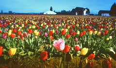 skagit tulips (playapic) Tags: tulips skagitvalley laconner flowers tulipfestival colours colourful farm