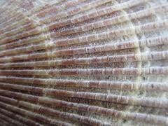 Patterns in Nature (LookaroundAnne) Tags: bivalve shell seashell macromondays patternsinnature macro