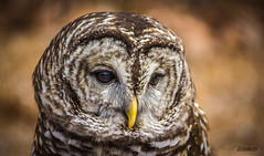 Strix varia ~ Barred Owl (ttounces) Tags: barred owl ttounces world bird sanctuary eight hooter swamp hoot rain laughing washington stripes round head pink belly who cooks for you all