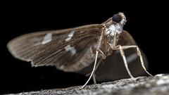 Moth (www.endlessfields.ch) Tags: animal insect lepidoptera moth amazing costa rica osa peninsula majestic macro macrophotography wildlife wildlifephotography