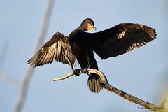 DSC_9622_00001 Double Crested Cormoran (MC Deschenes) Tags: bird double crested cormoran fish creek provincial park calgary alberta canada