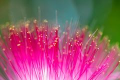 Mimosa Blossom (amarilloladi) Tags: macro nature mimosa mimosatree pink blossoms fuschia silktree albiziajulibrissin patternsinnature pinksiris persiansilktree macromondays flowers flora
