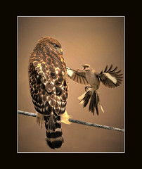 This is My space... an artistic impression of a red-shouldered hawk originally photographed by Don Henderson (John's Love of Nature) Tags: donhenderson framed outdoor nature johnkelley johnsloveofnature wildlife wildlifeart northernmockingbird mimuspolyglottos redshoulderedhawk buteolineatur