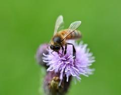 honey bee on creeping thistle - further picture (conall..) Tags: nikon afs nikkor f18g lens 50mm prime primelens nikonafsnikkorf18g closeup raynox dcr250 macro creeping thistle creepingthistle cirsium arvense cirsiumarvense weed bee honeybee apis mellifera apismellifera pollination flower