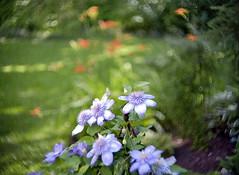 SWITAR 1:1.4 f=50mm AR (Vladimir Gazoukin) Tags: canada country summer vladimirgazoukin flowers bokeh backyard