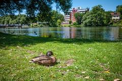 To quack, (bronney) Tags: panasonic gf1 14 25 stratford ontario