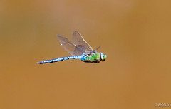 Photo of Southern Migrant Hawker