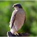 Eurasian Sparrowhawk (male) - Sperwer (man) (Accipiter nisus) ...