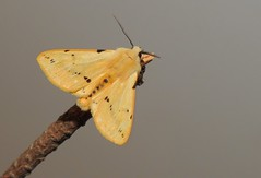 Buff Ermine Moth (Spilosoma lutea) (Nick Dobbs) Tags: buff ermine moth spilosoma lutea nocturnal dorset insect erebidae arctiinae male