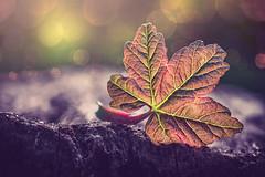Baby leaf (Ro Cafe) Tags: macro garden outdoors leaf mm selectivefocus nikkor105mmf28 patternsinnature macromondays sonya7iii