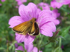 Male Small Skipper (ERIK THE CAT Struggling to keep up) Tags: butterflies lepidoptera garden stafford flowers geranium ngc