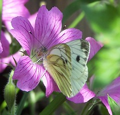Green-veined White (ERIK THE CAT Struggling to keep up) Tags: butterflies lepidoptera garden stafford flowers geranium
