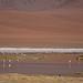 Chile - Altiplano - flamingos