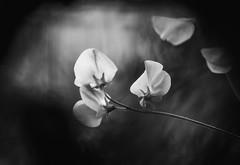 Nature and Nurture (Matthew Johnson1) Tags: nature flower soft blackandwhite blur petal nurture