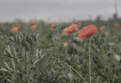 poppies #1 (liebeslakritze) Tags: poppies mohnblumen mohn rot grün green red field feld