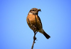 Stonechat (dianeharrison217) Tags: lunchtime lunch beach crosbybeach crosby wildlife bird stonechat