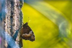 Moth on a post (bafdias) Tags: fujifilmxpro2 nikonnikkormicro55mmf28 macro moth insect
