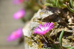 PROFILI NATURALI (davidetavian72) Tags: fiori roccia sole luce colore nikon d3300 35mmdx