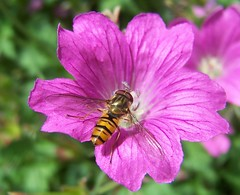Unid Hoverfly (ERIK THE CAT Struggling to keep up) Tags: hoverflies garden stafford flowers geranium